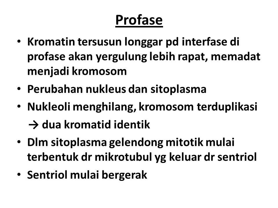 Prometafase Ddg nukleus terfragmentasi, mikrotubul berinteraksi dg kromosom Kedua kromatid yg berasal dr satu kromosom memiliki struktur khusus → kinetokor Interaksi ini, menyebabkan kromosom mulai melakukan gerakan