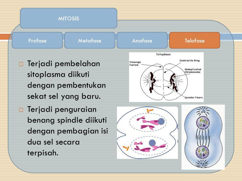  Terjadi pembelahan sitoplasma diikuti dengan pembentukan sekat sel yang baru.  Terjadi penguraian benang spindle diikuti dengan pembagian isi dua s
