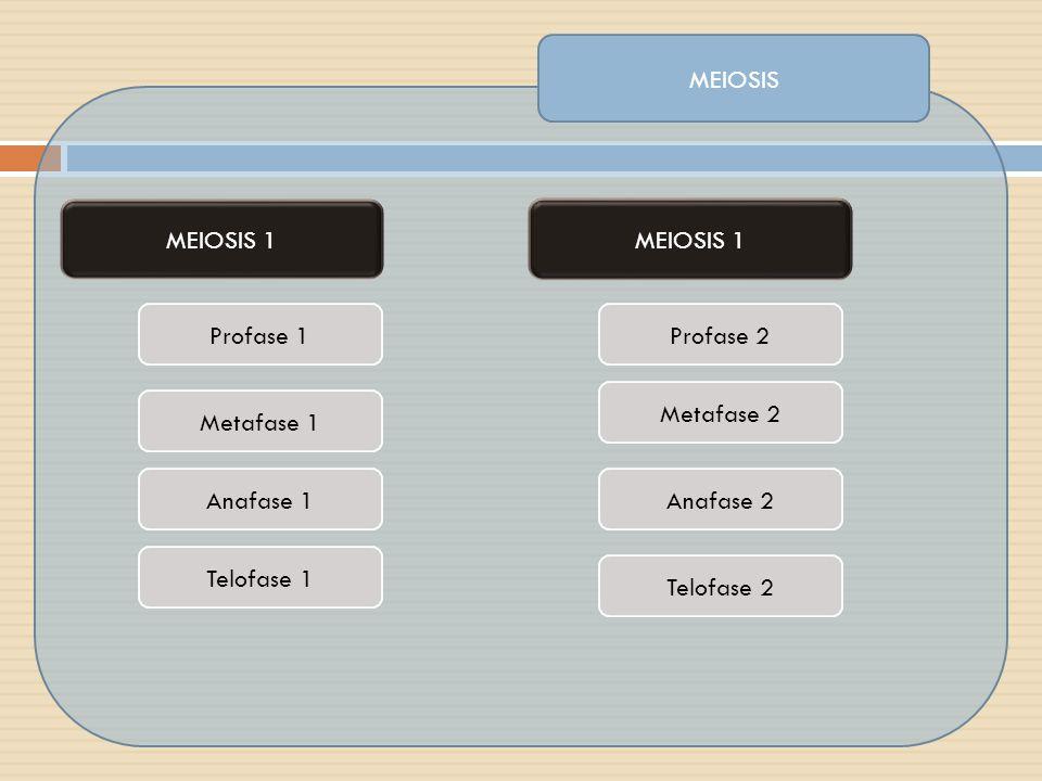 MEIOSIS 1 Profase 1 MEIOSIS 1 Metafase 1 Anafase 1 Telofase 1 Profase 2 Metafase 2 Telofase 2 Anafase 2
