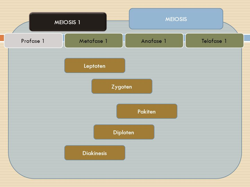 MEIOSIS MEIOSIS 1 Profase 1Metafase 1Anafase 1Telofase 1 Leptoten Zygoten Pakiten Diploten Diakinesis