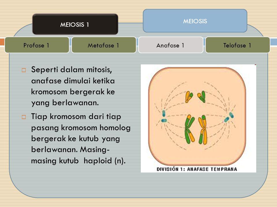  Seperti dalam mitosis, anafase dimulai ketika kromosom bergerak ke yang berlawanan.  Tiap kromosom dari tiap pasang kromosom homolog bergerak ke ku
