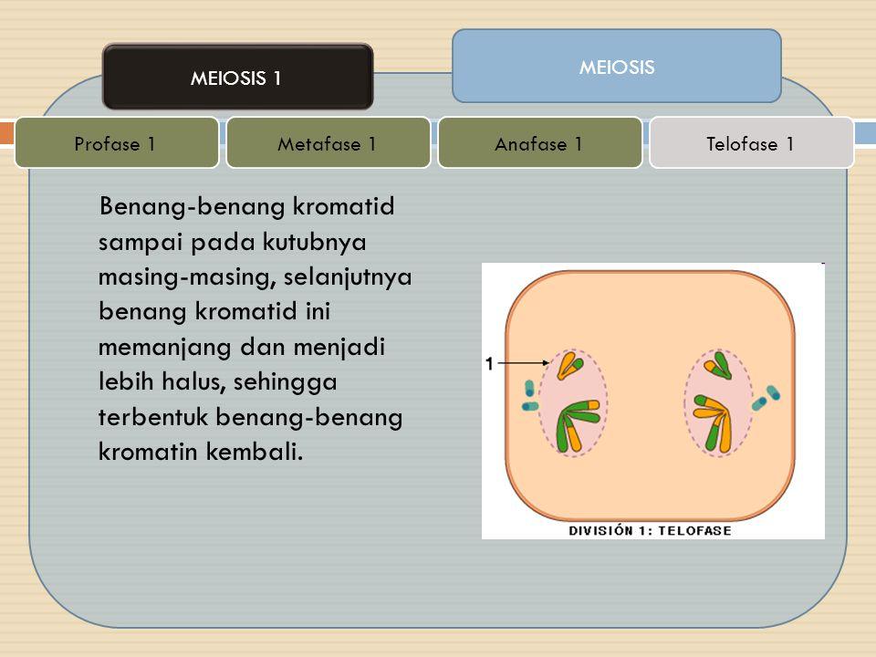 Benang-benang kromatid sampai pada kutubnya masing-masing, selanjutnya benang kromatid ini memanjang dan menjadi lebih halus, sehingga terbentuk benan