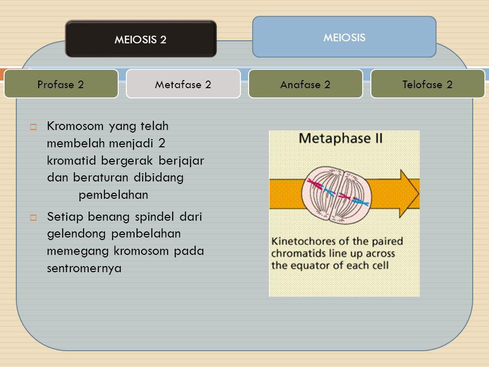 MEIOSIS MEIOSIS 2 Metafase 2Telofase 2Anafase 2Profase 2  Kromosom yang telah membelah menjadi 2 kromatid bergerak berjajar dan beraturan dibidang pe