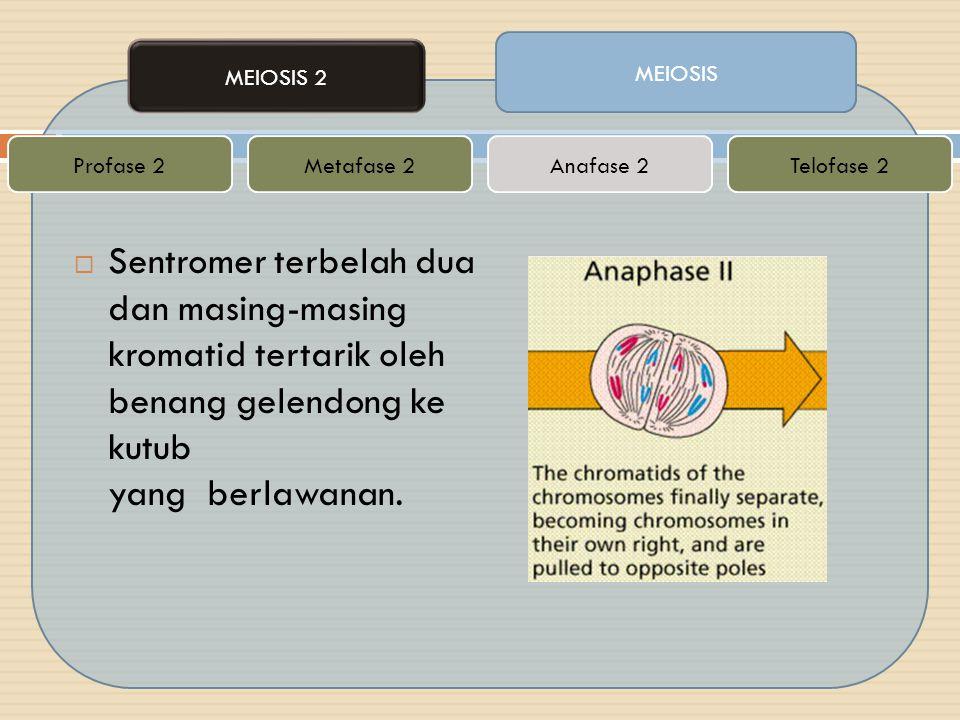  Sentromer terbelah dua dan masing-masing kromatid tertarik oleh benang gelendong ke kutub yang berlawanan. MEIOSIS MEIOSIS 2 Metafase 2Telofase 2Ana
