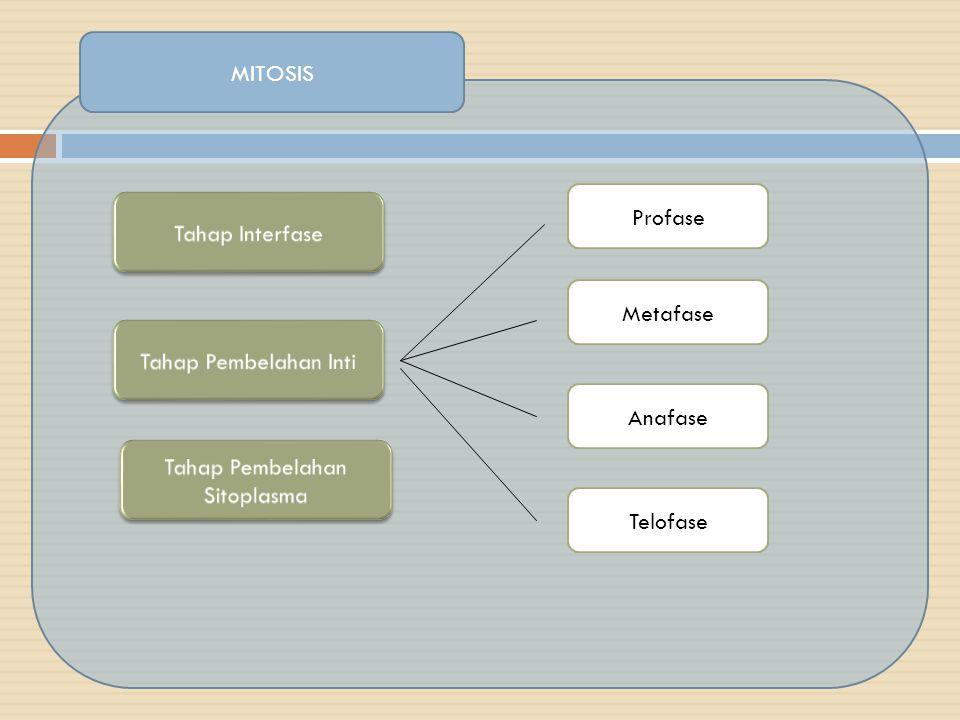 MITOSIS  Pada fase ini adalah fase istirahat dari proses pembelahan (persiapan).