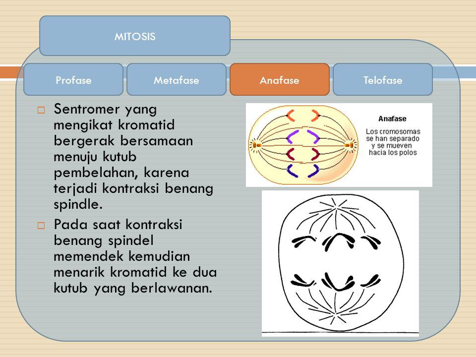  Sentromer yang mengikat kromatid bergerak bersamaan menuju kutub pembelahan, karena terjadi kontraksi benang spindle.  Pada saat kontraksi benang s