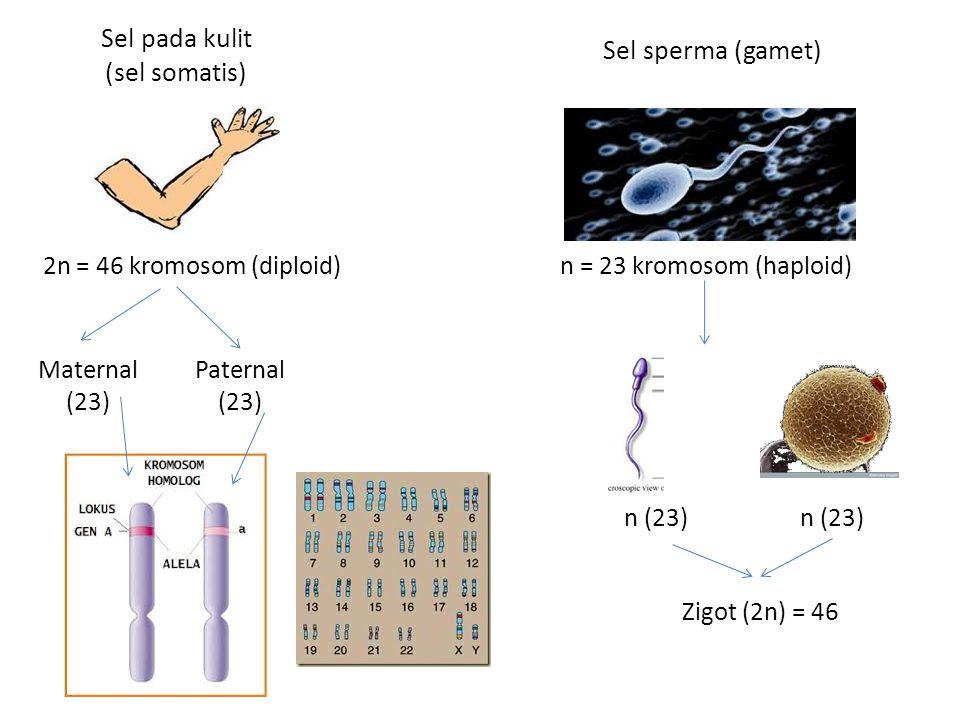 Sel pada kulit (sel somatis) Sel sperma (gamet) 2n = 46 kromosom (diploid)n = 23 kromosom (haploid) Maternal (23) Paternal (23) n (23) Zigot (2n) = 46