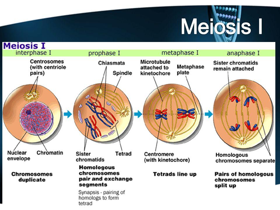 Leptonema: benang-benang kromatin menjadi kromosom Zigonema: kromosom-kromosom homolog (paternal dan maternal) saling berdekatan dan berpasangan.