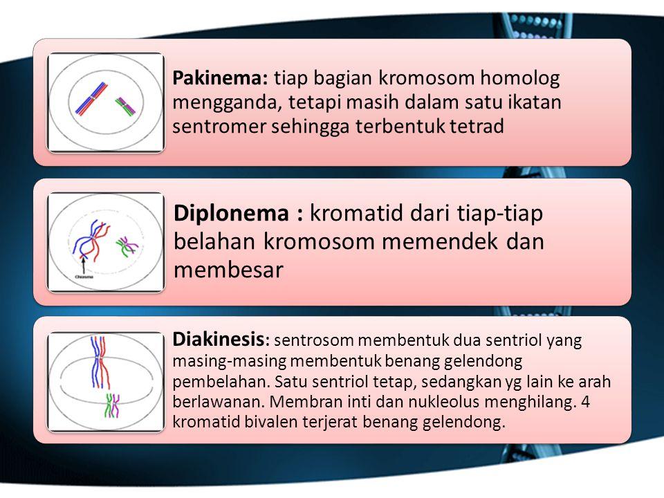 Pakinema: tiap bagian kromosom homolog mengganda, tetapi masih dalam satu ikatan sentromer sehingga terbentuk tetrad Diplonema : kromatid dari tiap-ti