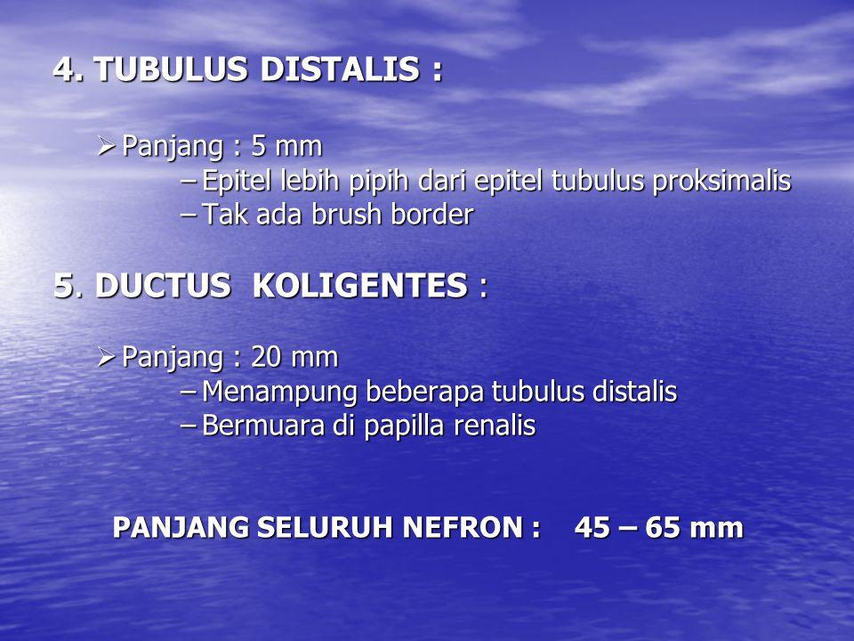 4. TUBULUS DISTALIS :  Panjang : 5 mm –Epitel lebih pipih dari epitel tubulus proksimalis –Tak ada brush border 5. DUCTUS KOLIGENTES :  Panjang : 20