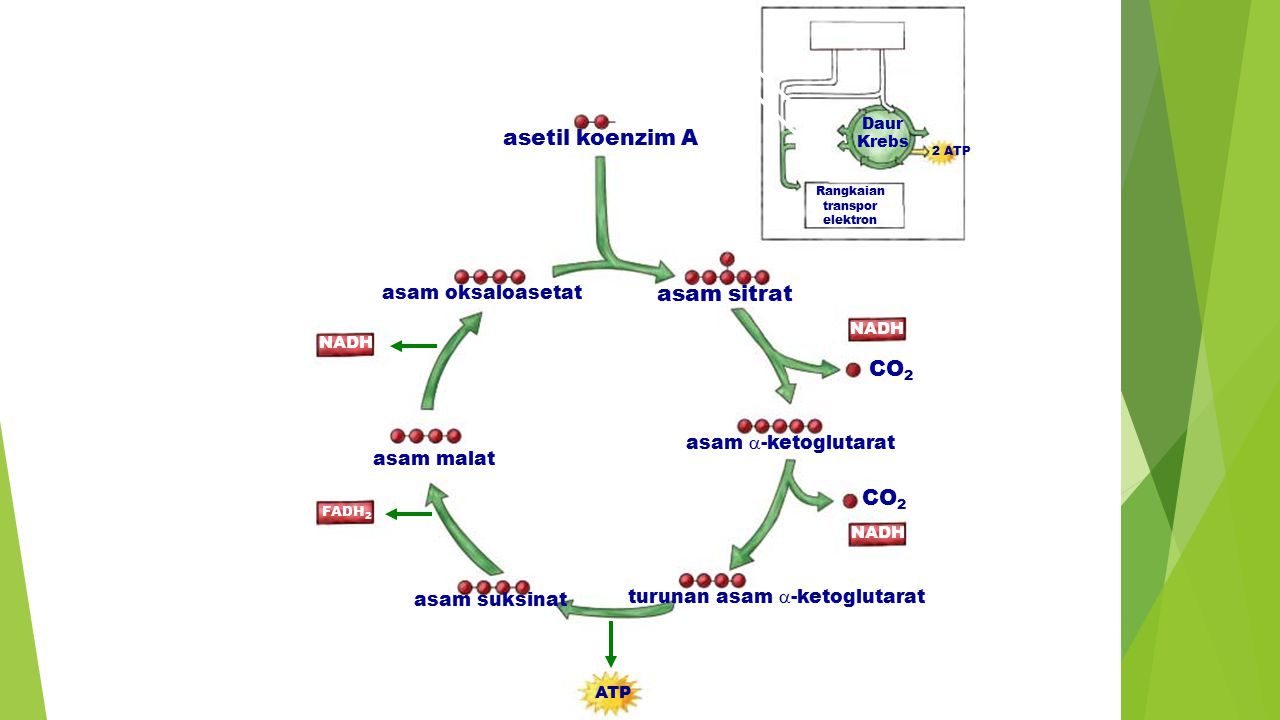 Daur Krebs CoA asetil koenzim A asam sitrat CO 2 NADHNAD + asam oksaloasetat 1. 2. 3. 4. 5. 6. asam  -ketoglutarat CO 2 NAD + asam malat NADH FADH 2