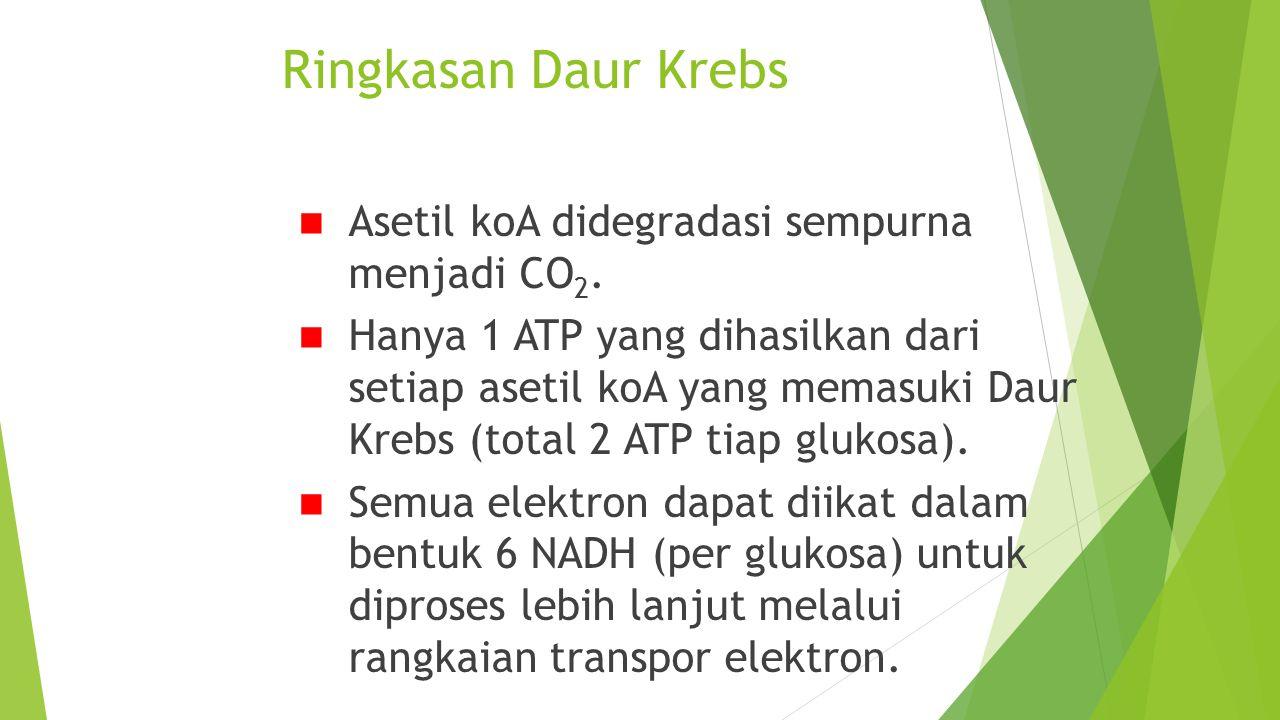 Ringkasan Daur Krebs Asetil koA didegradasi sempurna menjadi CO 2. Hanya 1 ATP yang dihasilkan dari setiap asetil koA yang memasuki Daur Krebs (total