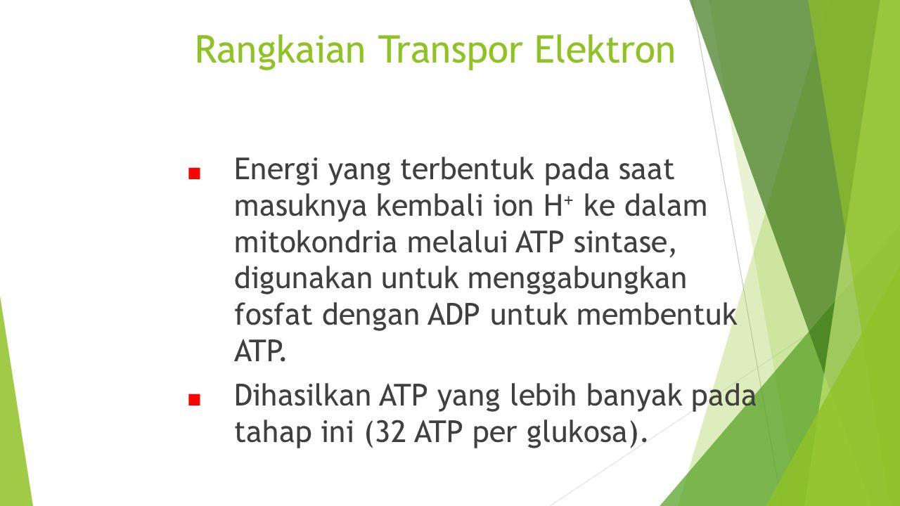Rangkaian Transpor Elektron ■ Energi yang terbentuk pada saat masuknya kembali ion H + ke dalam mitokondria melalui ATP sintase, digunakan untuk mengg