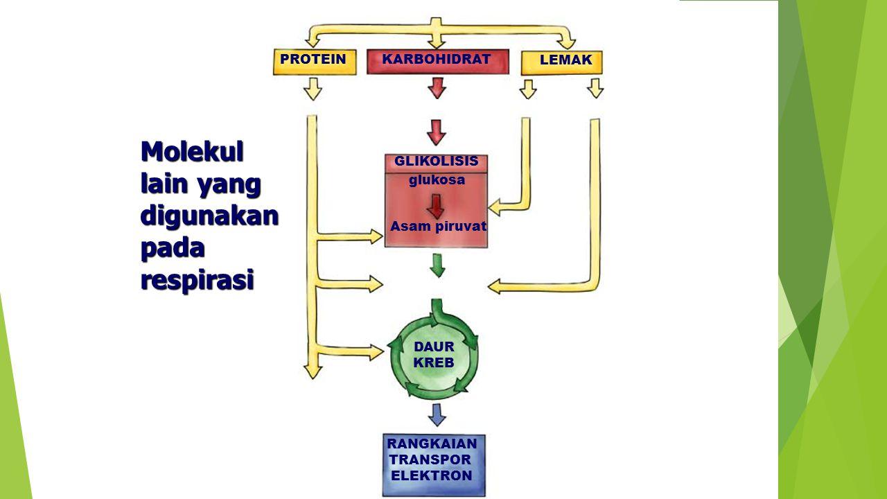 PROTEIN LEMAK KARBOHIDRAT food amino acidssugarsglycerol fatty acids GLIKOLISIS glukosa Asam piruvat acetyl CoA DAUR KREB NH 3 (ammonia) RANGKAIAN TRA