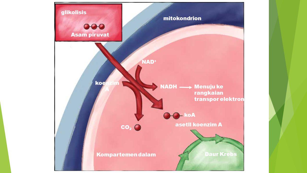 glikolisis Asam piruvat cytosol NAD + koenzim A NADHMenuju ke rangkaian transpor elektron koA CO 2 Kompartemen dalam Daur Krebs mitokondrion asetll ko