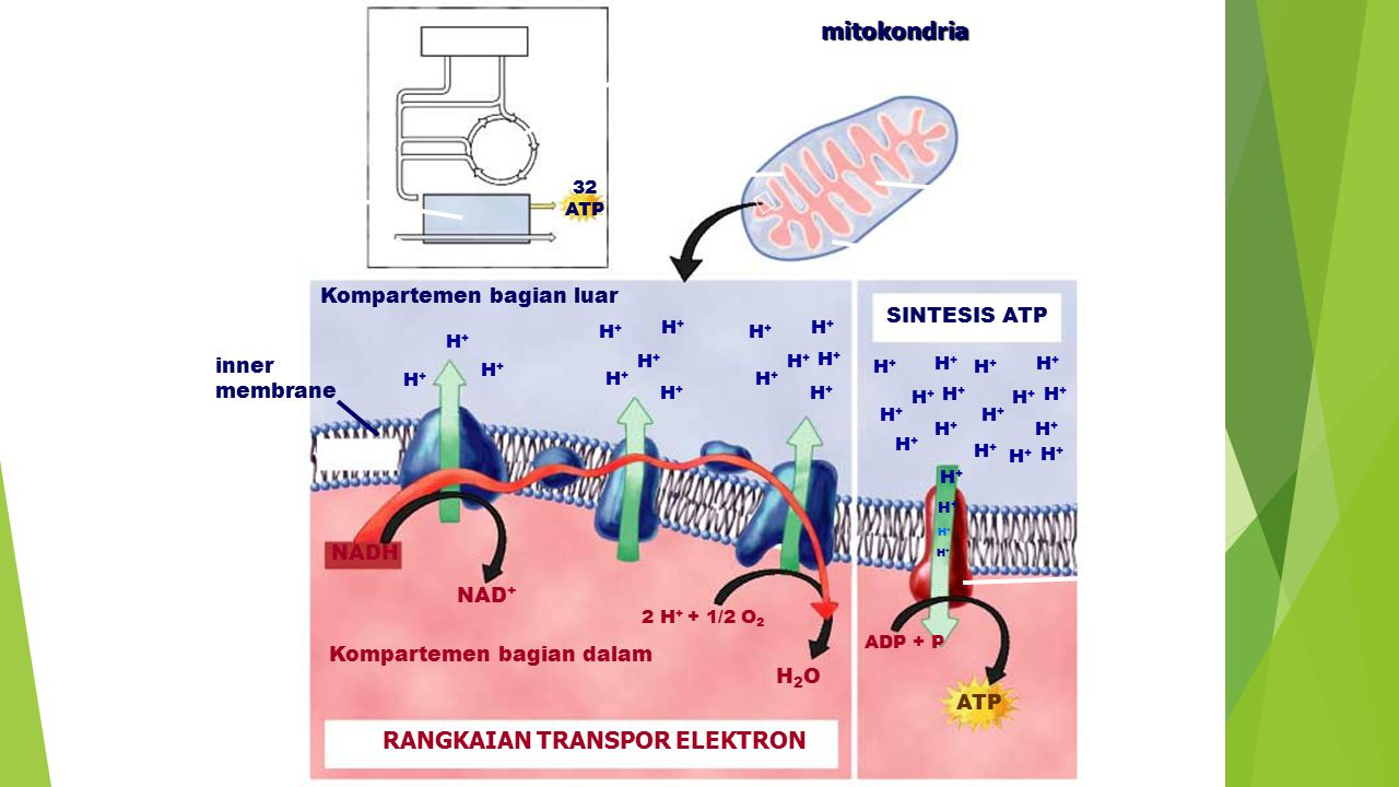 GLYCOLYSIS ELECTRON TRANSPORT CHAIN O2O2 H2OH2O 32 ATP KREBS CYCLE SINTESIS ATP mitokondria inner compartment outer compartment inner membrane Kompart