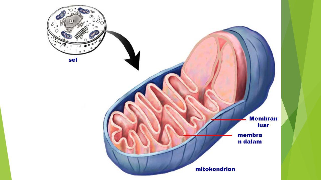 sel membra n dalam Membran luar mitokondrion