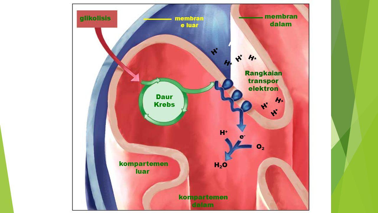 glikolisis Daur Krebs membran e luar membran dalam Rangkaian transpor elektron kompartemen dalam H2OH2O O2O2 H+H+ e-e- kompartemen luar H+H+ H+H+ H+H+