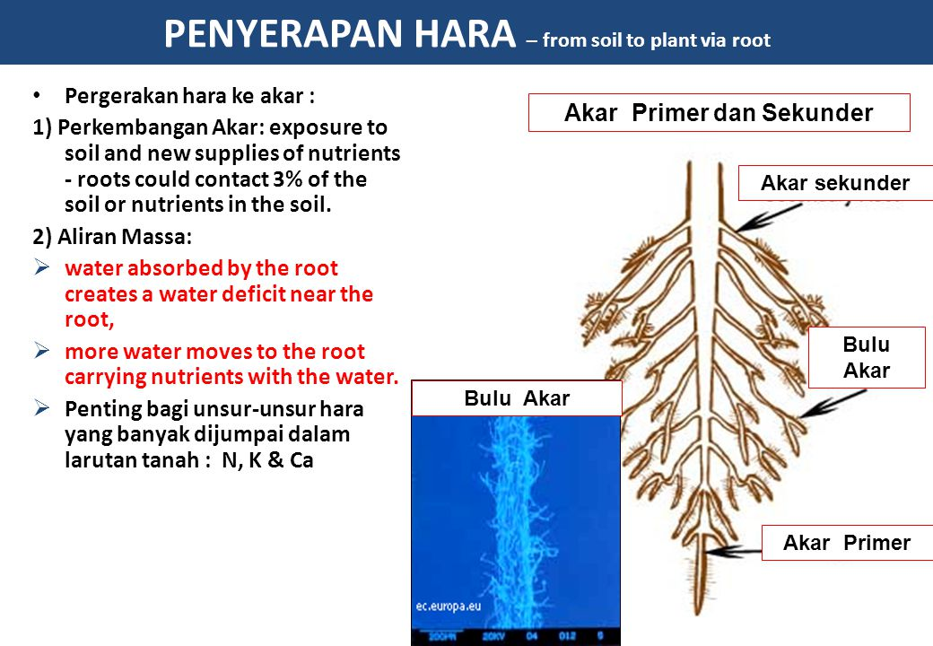 PENYERAPAN HARA – from soil to plant via root Pergerakan hara ke akar : 1) Perkembangan Akar: exposure to soil and new supplies of nutrients - roots could contact 3% of the soil or nutrients in the soil.