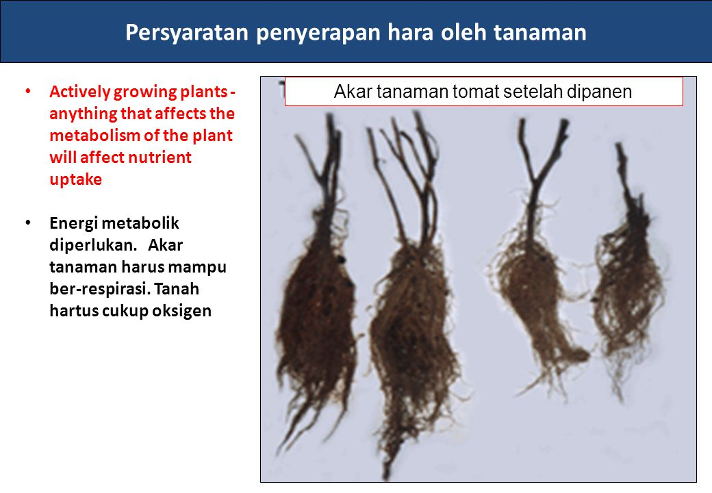 Persyaratan penyerapan hara oleh tanaman Actively growing plants - anything that affects the metabolism of the plant will affect nutrient uptake Energ