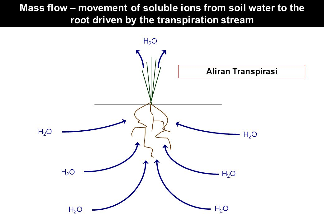 Mass flow – movement of soluble ions from soil water to the root driven by the transpiration stream H2OH2O H2OH2O H2OH2O H2OH2O H2OH2O H2OH2O H2OH2O T