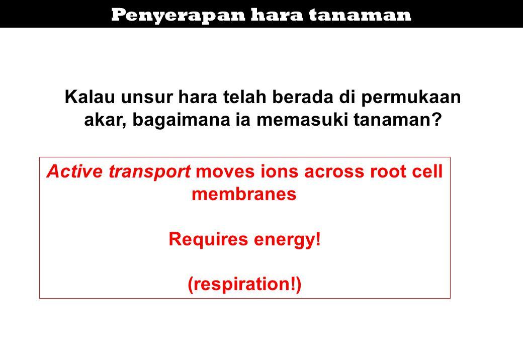 Kalau unsur hara telah berada di permukaan akar, bagaimana ia memasuki tanaman? Active transport moves ions across root cell membranes Requires energy