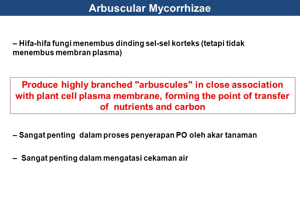 – Hifa-hifa fungi menembus dinding sel-sel korteks (tetapi tidak menembus membran plasma) Produce highly branched arbuscules in close association with plant cell plasma membrane, forming the point of transfer of nutrients and carbon – Sangat penting dalam proses penyerapan PO oleh akar tanaman – Sangat penting dalam mengatasi cekaman air Arbuscular Mycorrhizae