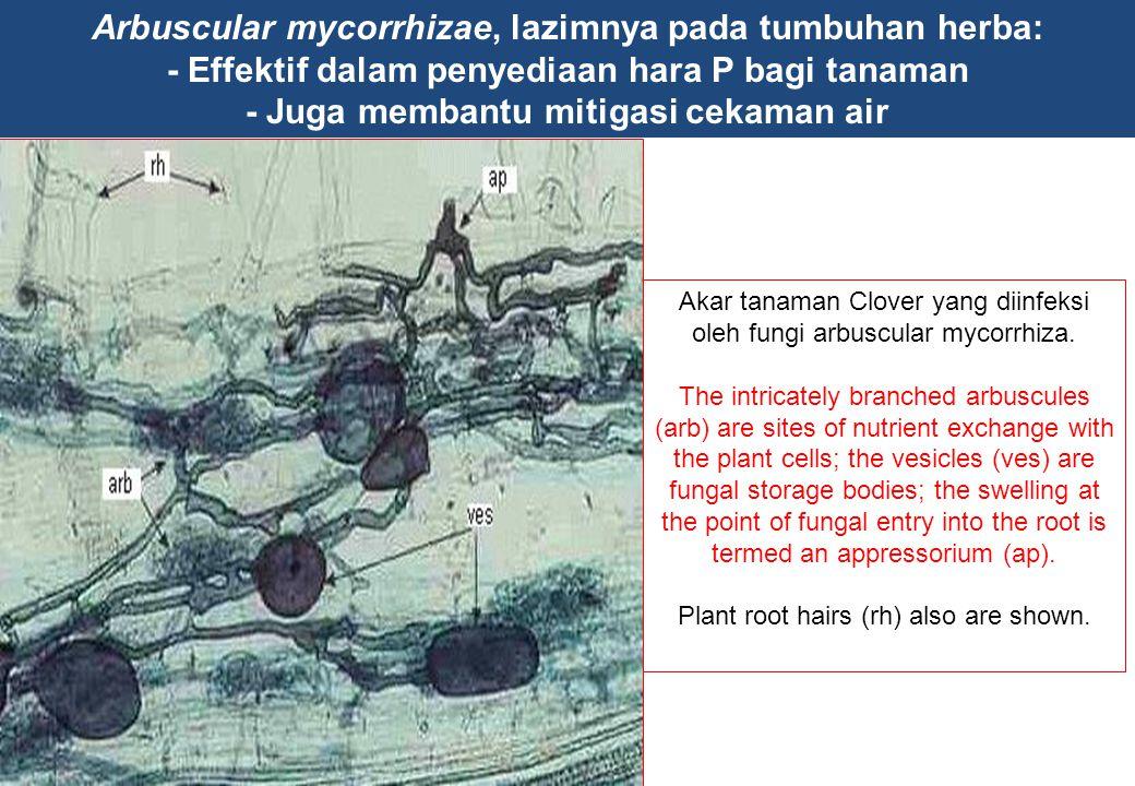Arbuscular mycorrhizae, lazimnya pada tumbuhan herba: - Effektif dalam penyediaan hara P bagi tanaman - Juga membantu mitigasi cekaman air Akar tanama
