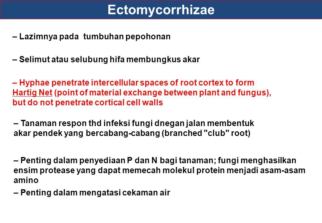 Ectomycorrhizae – Penting dalam mengatasi cekaman air – Selimut atau selubung hifa membungkus akar – Hyphae penetrate intercellular spaces of root cor