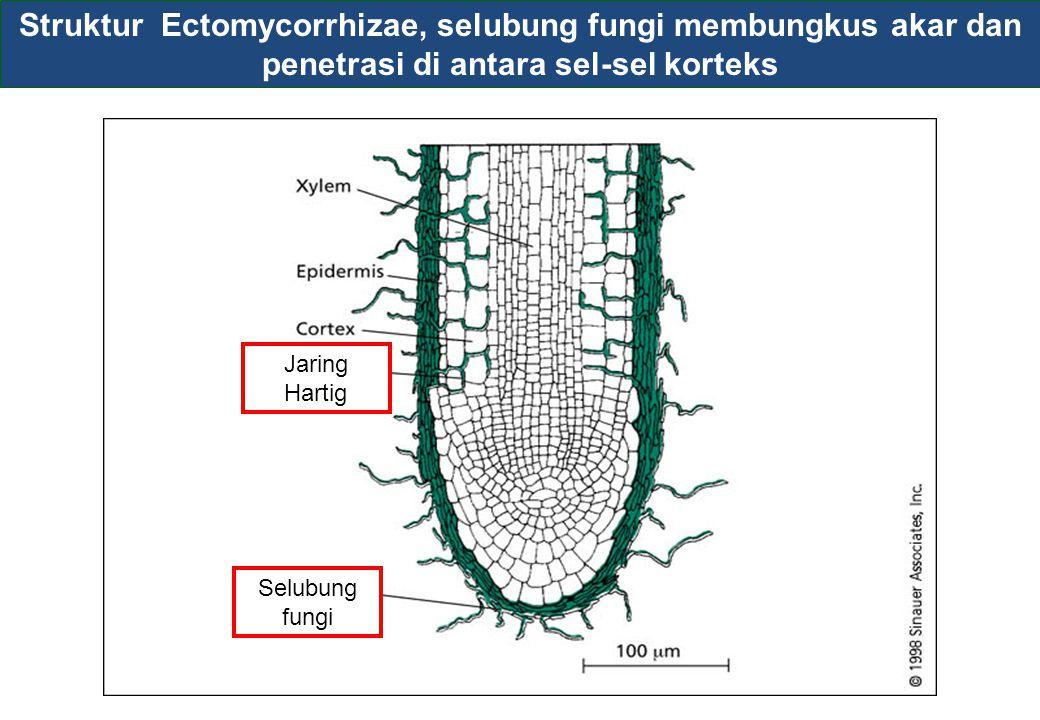 Struktur Ectomycorrhizae, selubung fungi membungkus akar dan penetrasi di antara sel-sel korteks Selubung fungi Jaring Hartig