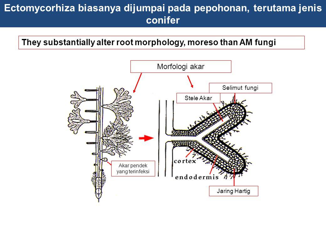 Ectomycorhiza biasanya dijumpai pada pepohonan, terutama jenis conifer They substantially alter root morphology, moreso than AM fungi club root morpho