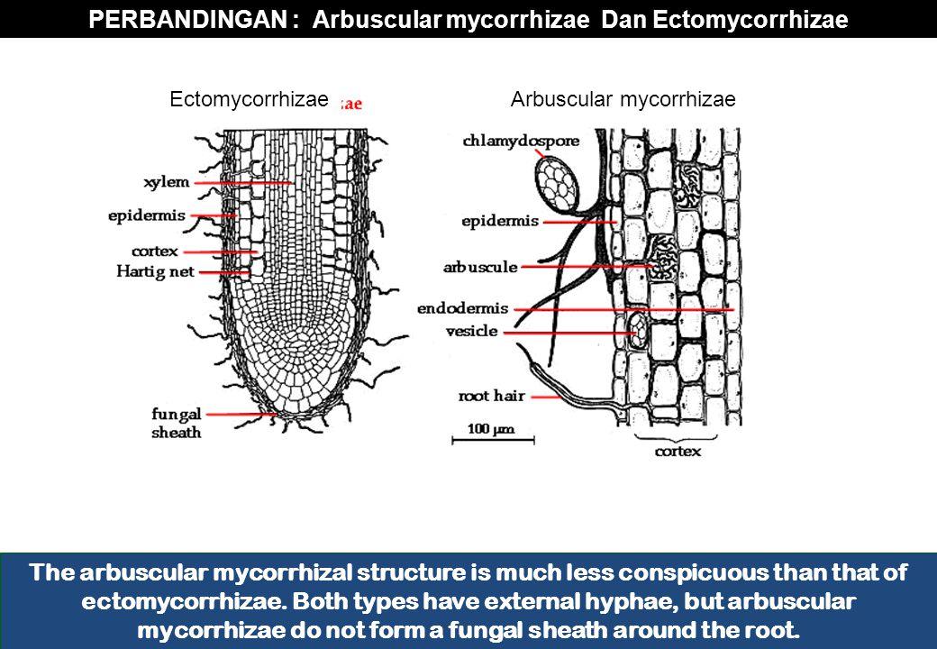 PERBANDINGAN : Arbuscular mycorrhizae Dan Ectomycorrhizae The arbuscular mycorrhizal structure is much less conspicuous than that of ectomycorrhizae.