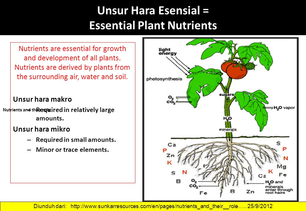 Unsur Hara Esensial = Essential Plant Nutrients Nutrients are essential for growth and development of all plants. Nutrients are derived by plants from