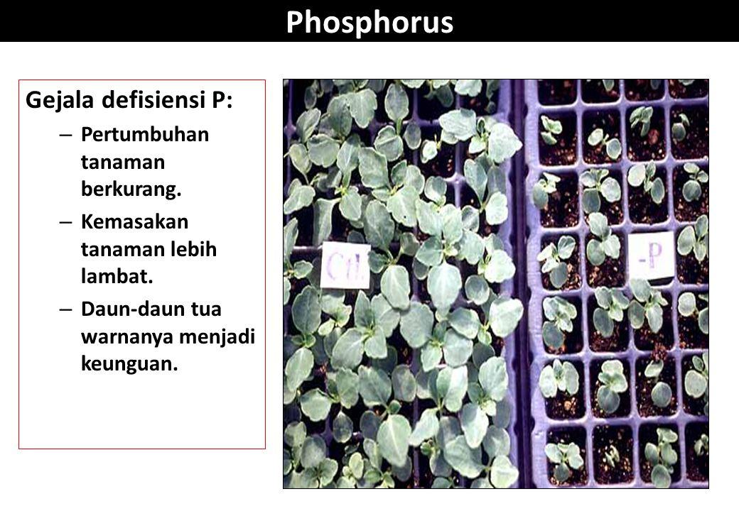 Phosphorus Gejala defisiensi P: – Pertumbuhan tanaman berkurang. – Kemasakan tanaman lebih lambat. – Daun-daun tua warnanya menjadi keunguan.