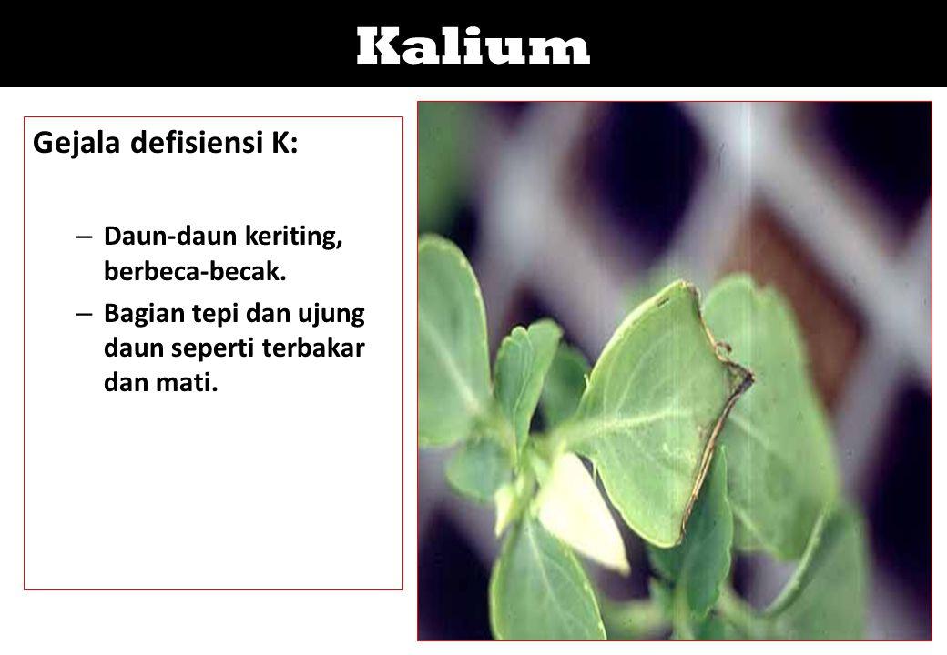 Kalium Gejala defisiensi K: – Daun-daun keriting, berbeca-becak. – Bagian tepi dan ujung daun seperti terbakar dan mati.