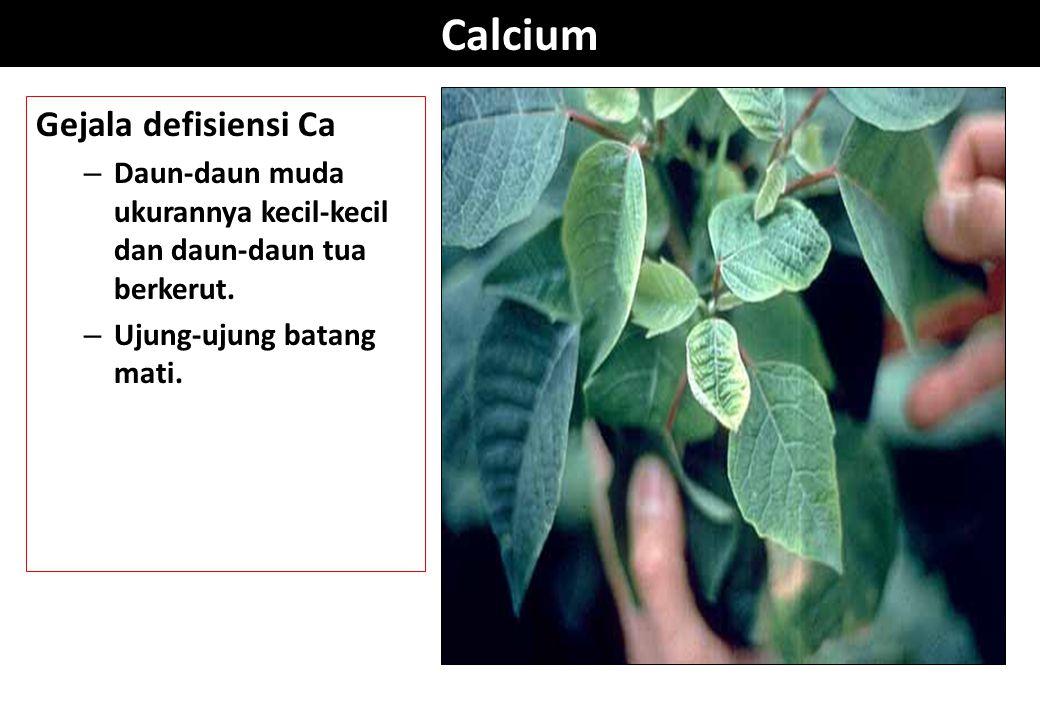 Calcium Gejala defisiensi Ca – Daun-daun muda ukurannya kecil-kecil dan daun-daun tua berkerut. – Ujung-ujung batang mati.