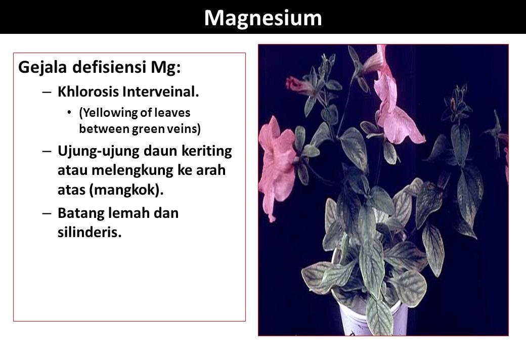 Magnesium Gejala defisiensi Mg: – Khlorosis Interveinal. (Yellowing of leaves between green veins) – Ujung-ujung daun keriting atau melengkung ke arah