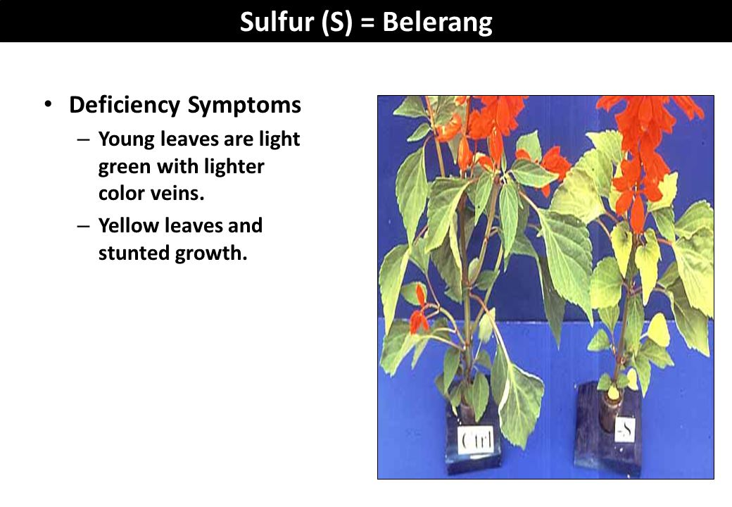 Sulfur (S) = Belerang Deficiency Symptoms – Young leaves are light green with lighter color veins. – Yellow leaves and stunted growth.