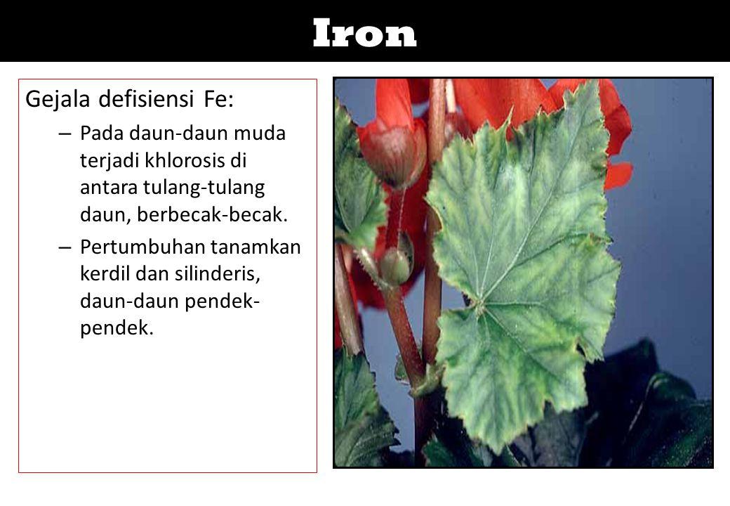 Iron Gejala defisiensi Fe: – Pada daun-daun muda terjadi khlorosis di antara tulang-tulang daun, berbecak-becak. – Pertumbuhan tanamkan kerdil dan sil