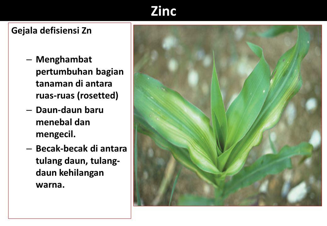Zinc Gejala defisiensi Zn – Menghambat pertumbuhan bagian tanaman di antara ruas-ruas (rosetted) – Daun-daun baru menebal dan mengecil. – Becak-becak