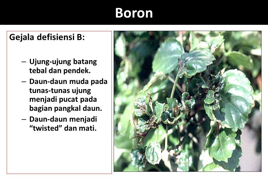 Boron Gejala defisiensi B: – Ujung-ujung batang tebal dan pendek. – Daun-daun muda pada tunas-tunas ujung menjadi pucat pada bagian pangkal daun. – Da