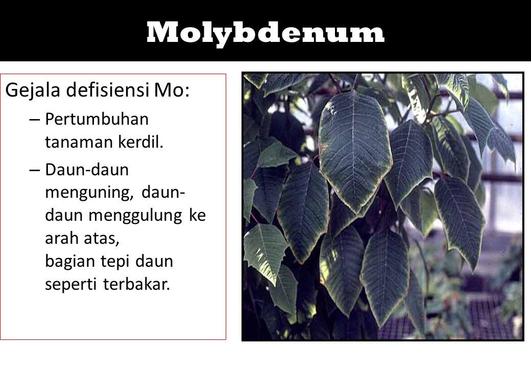 Molybdenum Gejala defisiensi Mo: – Pertumbuhan tanaman kerdil. – Daun-daun menguning, daun- daun menggulung ke arah atas, bagian tepi daun seperti ter