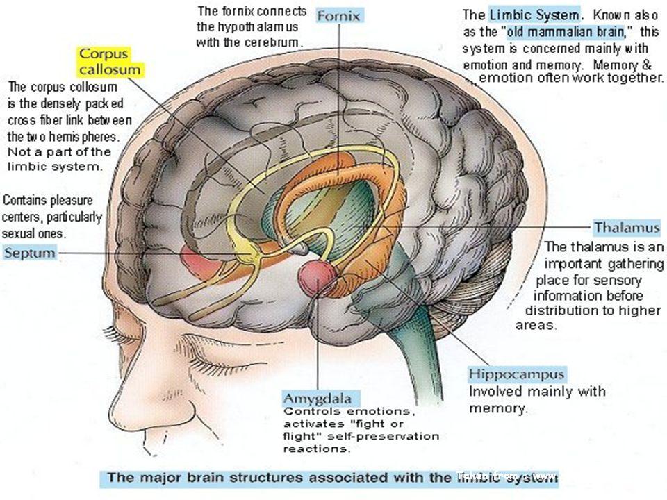 Amygdala: EQ Taken from : www.sruweb.com