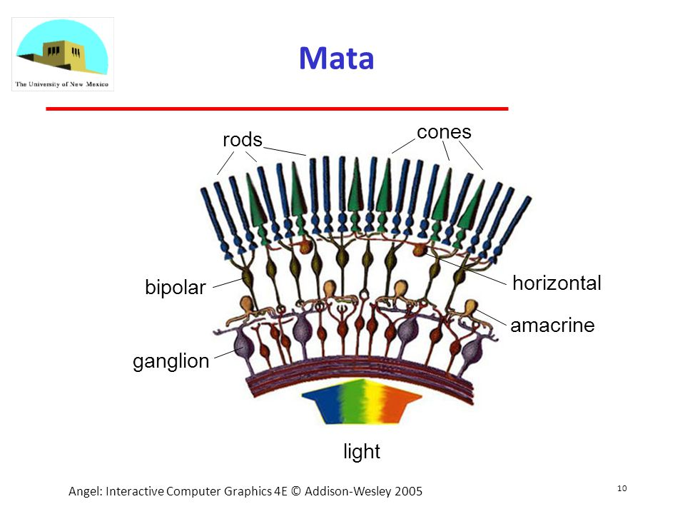 10 Angel: Interactive Computer Graphics 4E © Addison-Wesley 2005 Mata rods cones light bipolar ganglion horizontal amacrine