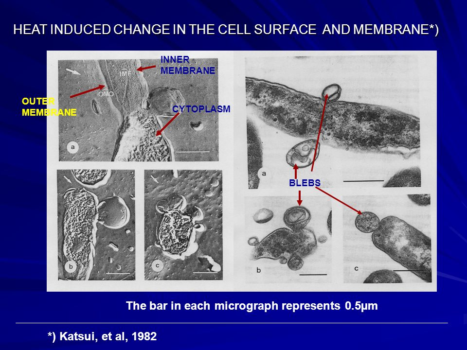 HEAT INDUCED CHANGE IN THE CELL SURFACE AND MEMBRANE*) OUTER MEMBRANE INNER MEMBRANE CYTOPLASM BLEBS The bar in ea The bar in each micrograph represen