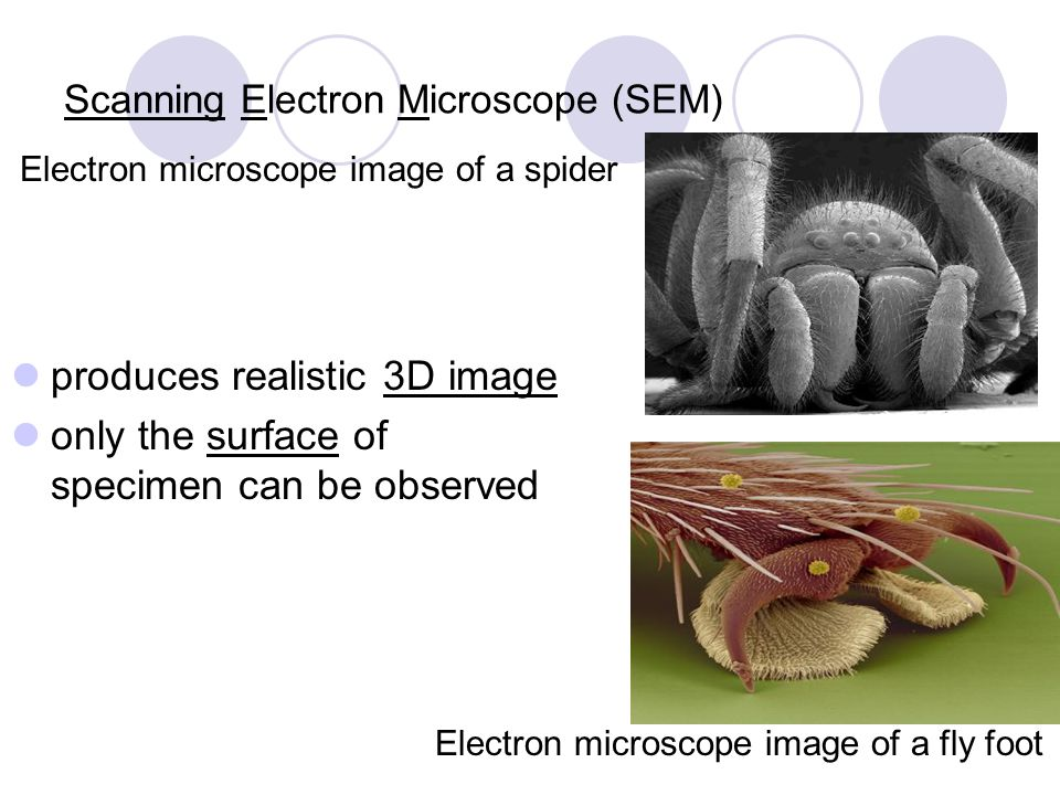 Scanning Electron Microscope (SEM) Electron microscope image of a spider produces realistic 3D image only the surface of specimen can be observed Elec