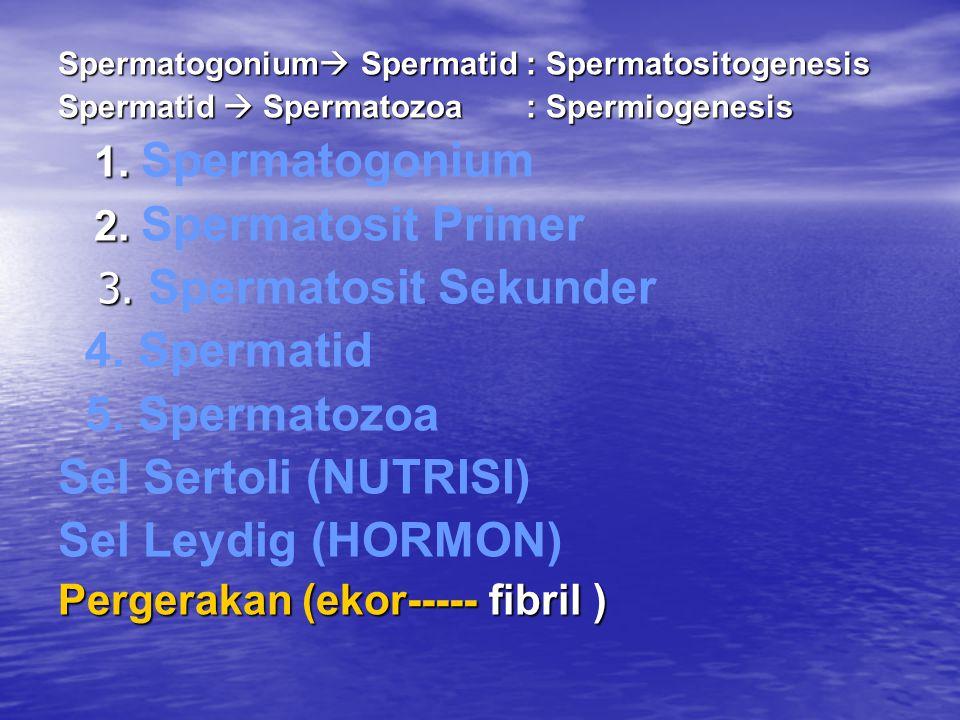 Spermatogonium  Spermatid : Spermatositogenesis Spermatid  Spermatozoa : Spermiogenesis 1.