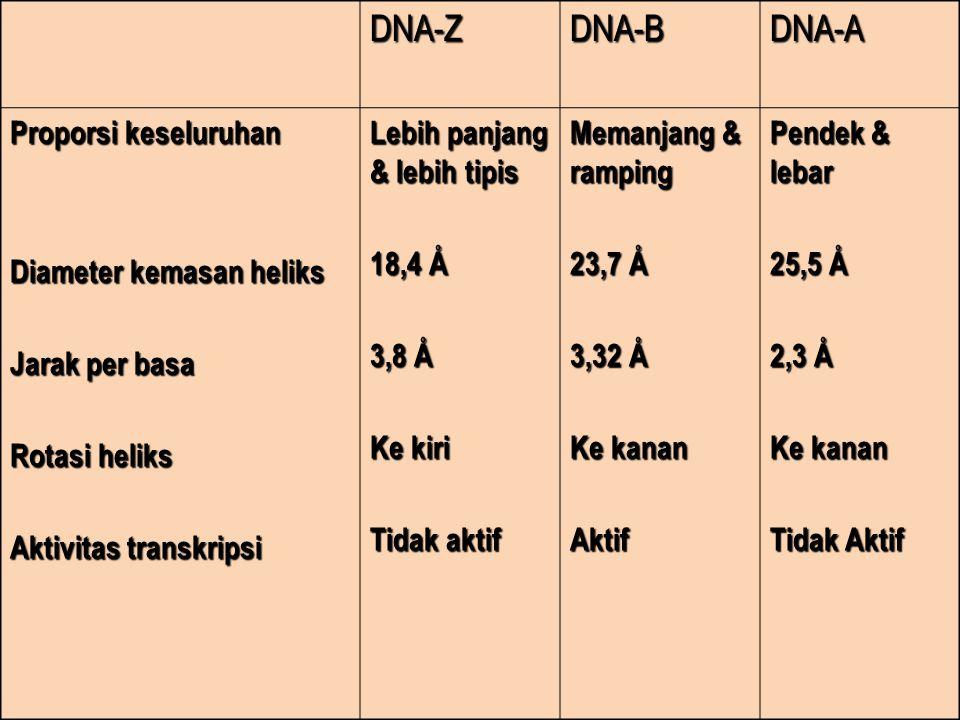 DNA-ZDNA-BDNA-A Proporsi keseluruhan Diameter kemasan heliks Jarak per basa Rotasi heliks Aktivitas transkripsi Lebih panjang & lebih tipis 18,4 Å 3,8