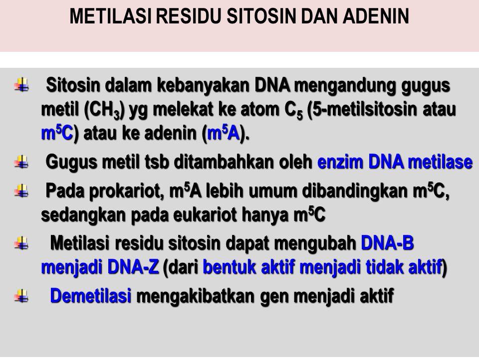 METILASI RESIDU SITOSIN DAN ADENIN Sitosin dalam kebanyakan DNA mengandung gugus metil (CH 3 ) yg melekat ke atom C 5 (5-metilsitosin atau m 5 C) atau