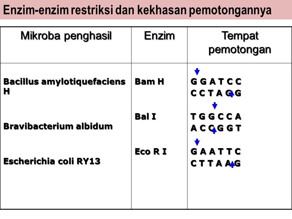 Enzim-enzim restriksi dan kekhasan pemotongannya Mikroba penghasil Enzim Tempat pemotongan Bacillus amylotiquefaciens H Bravibacterium albidum Escheri